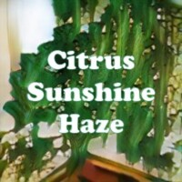 Citrus Sunshine Haze strain