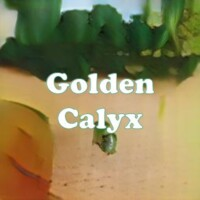 Golden Calyx strain