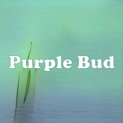 Purple Bud strain