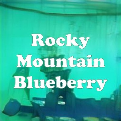 Rocky Mountain Blueberry strain