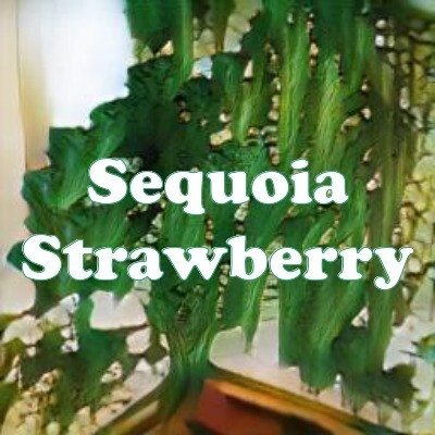 Sequoia Strawberry strain